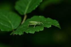 Nadelholzsäbelschrecke