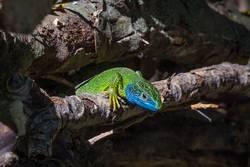 Smaragdeidechse im Unterholz