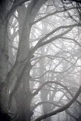 foggy woods #8