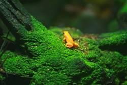 Golden poison frog II