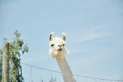ein lama (2)