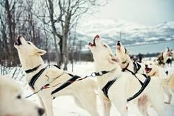 Heulende Husky vor der winterlichen Schlittenfahrt