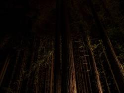 Night view of giant Sequoia trees