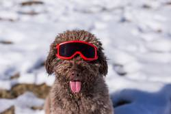 funny spanish water dog wearing ski goggles in the snow