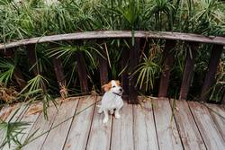 cute small jack russell terrier on a wood bridge