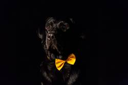 Beautiful black labrador with bow tie over black background
