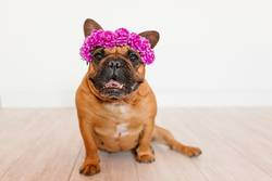 cute brown french bulldog at home with a wreath of flowers