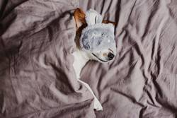 cute small dog lying on bed and wearing a sleeping mask