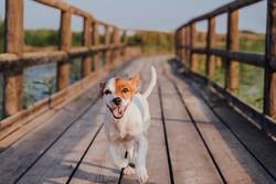 happy jack russell dog running on a wood pier at sunset