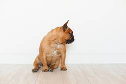 portrait of cute brown french bulldog.Pets indoors and lifestyle
