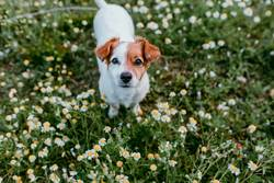 cute small dog sitting in a daisy flowers field. springtime