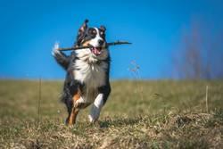 Berner Sennenhund beim apportieren