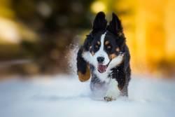 Junger Berner Sennenhund im Schnee