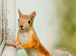 niedliches Eichhörnchen bleibt in Richtung der Kamera starren