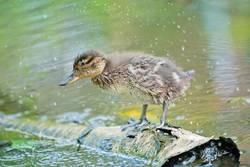 Mallard Duck on a lake