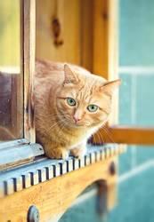 orange Katze im Fenster