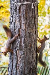zwei Eichhörnchen auf einer Kiefer