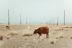 cows Altai steppe