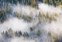 Majesty of nature, misty coniferous forest at sunrise