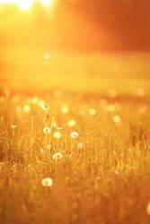Sunny dandelion meadow in spring