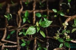 cucumber seedlings in peat pot