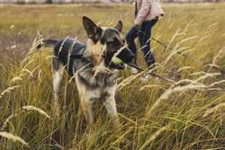 dog German shepherd for a walk