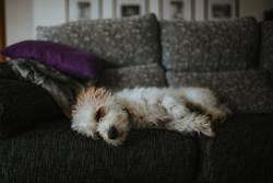 Cute dog sleeping on sofa