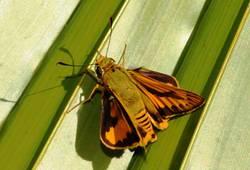 Brum das Insekt