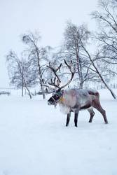 Reindeers are lovely