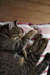 Braun getigerte Katze beim Schlafen auf einem Kissen