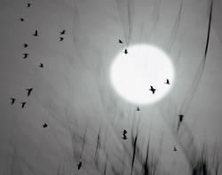Flug der Krähen