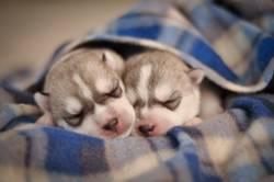 Little newborn puppies purebred gray and white siberian husky