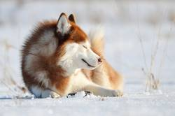 Smiling red dog husky laying on the snow.