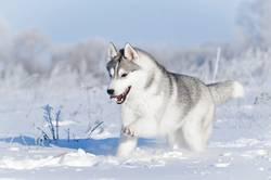 Nothern sledding husky dog running in winter snow