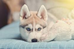 Siberian husky puppy with blue eyes purebred laying on the bed