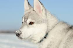 Siberian husky dog puppy gray and white side closeup