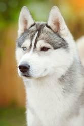 Dog face close up siberian husky