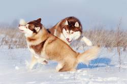 Two red and white siberian huskies dogs playing