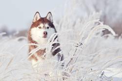 red dog siberian husky standing