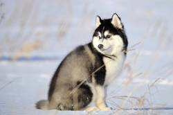 Siberian husky black and white fluffy woolie puppy