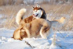 Two red and white siberian huskies dogs
