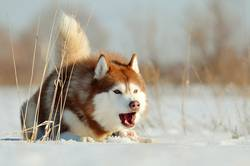 Aggressive dog laying on the snow winter outdoor