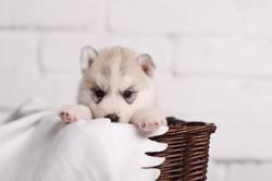 Cute small puppy siberian husky
