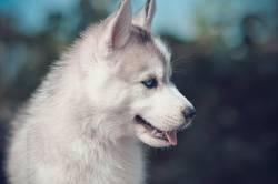 Blue eyes puppy side portrait.