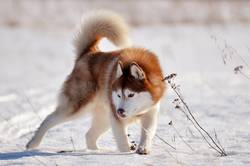 Red dog husky standing in snow field in aggressive pose