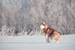 Red siberian husky dog standing in frost