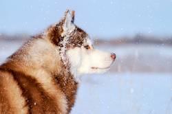 Husky purebred dog in the vast snowfal