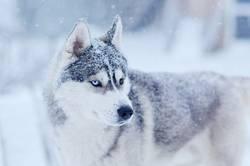 Snow flakes on the head siberian husky