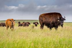 A herd of plains bison buffalo with a baby calf