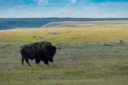 Plains Bison, Buffalo in Saskatchewan, Canada